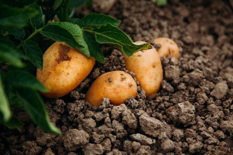 bio zemiaky-ekofarma važec